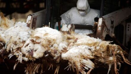 Вирус птичьего гриппа распространяется по Восточной Европе